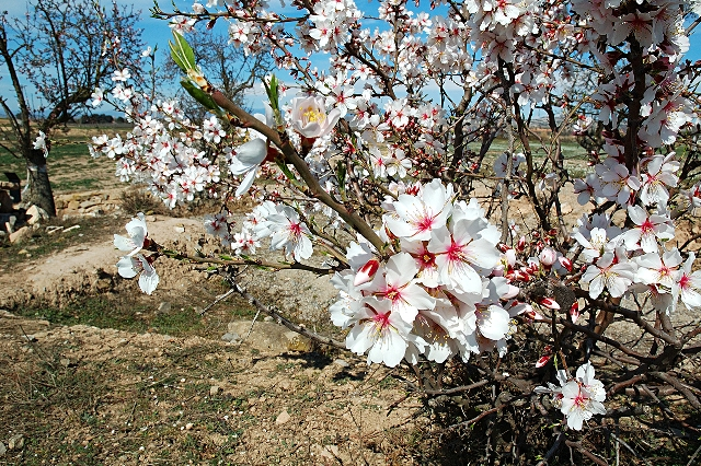 Almond_trees_in_bloom