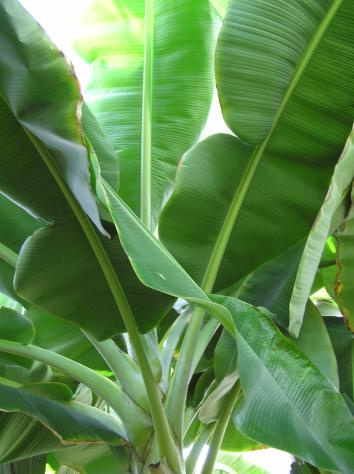 Banana_leaves