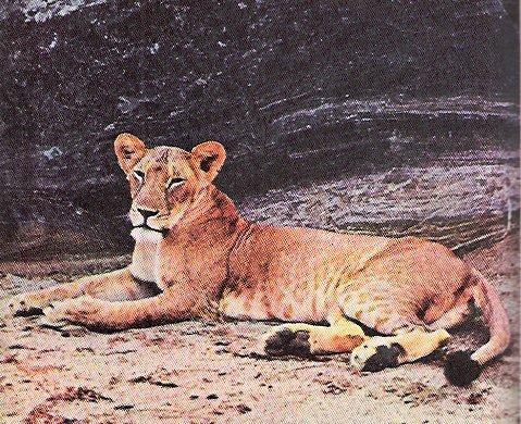 Elsa-the-lioness-born-free-967267_479_390