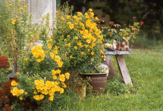 Chrysanthemums-larnaca