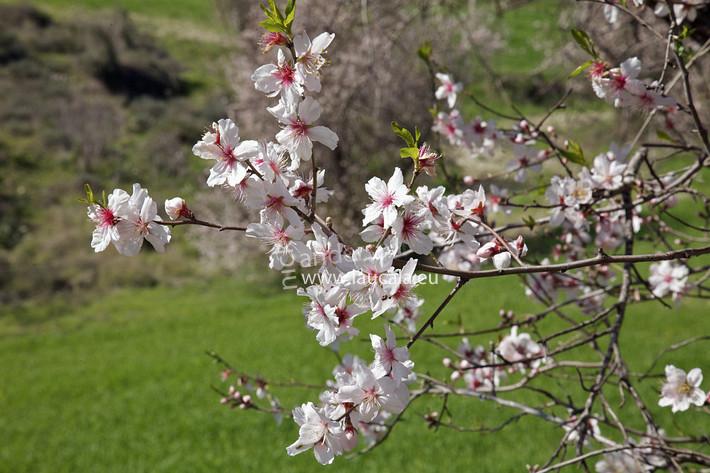 Oh Almond Tree Anastasia