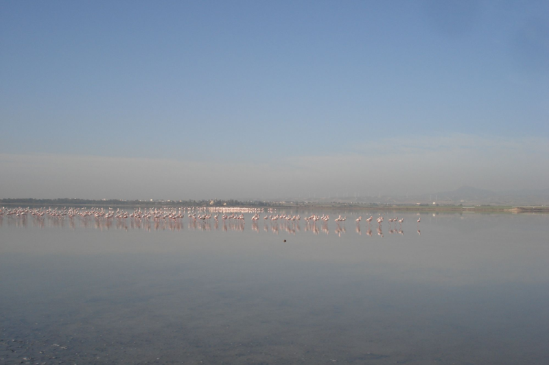 larnaca salt lake - flamingos
