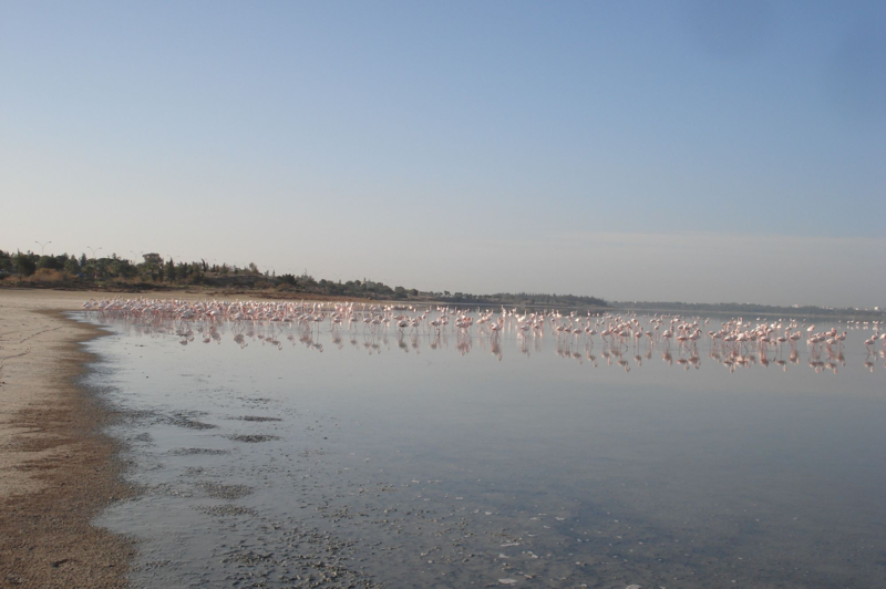 larnaca salt lake-flamingos